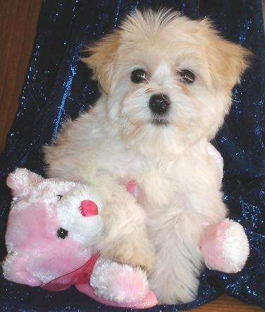 havanese puppy with cream ears